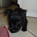 Perro Scottish Terrier Doggy