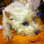 Perro West Highland White Terrier Nana