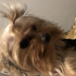 Perro Yorkshire Terrier Belly