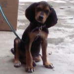 Perro Black and Tan Coonhound Blacki