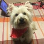 Perro West Highland White Terrier Fluffy