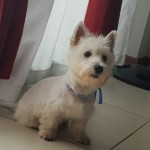 Perro West Highland White Terrier Ruffo