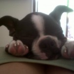 Perro Boston Terrier Max