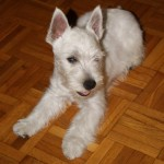 Perro West Highland White Terrier Curro