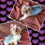 Perro Yorkshire Terrier Star
