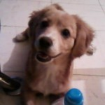 Perro Nova Scotia Duck Tolling Retriever Nala