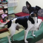 Perro Fox Terrier Toy Dogy