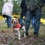 Perro Beagle Harrier Horatio