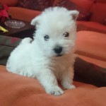 Perro West Highland White Terrier Pipo