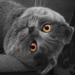 Gato Scottish Fold Piruleto