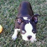 Perro Boston Terrier Coco