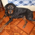 Perro Rottweiler Mabe