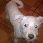 Perro West Highland White Terrier nieve