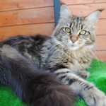 Gato Maine Coon Felicity