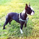 Perro Boston Terrier Lulo