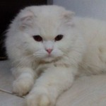 Gato Scottish Fold Beethoven