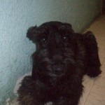 Perro Scottish Terrier Toby