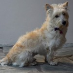 Perro West Highland White Terrier Pepa
