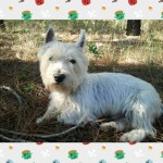 Perro West Highland White Terrier Rufo