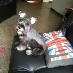 Perro Schnauzer Mediano DOLLY-DALLAS