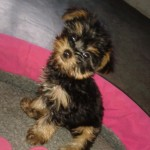 Perro Yorkshire Terrier ssissy