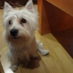 Perro West Highland White Terrier Camila