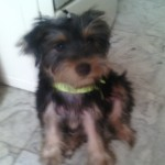 Perro Yorkshire Terrier timmy