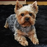 Perro Yorkshire Terrier Roni
