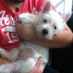 Perro West Highland White Terrier Koral