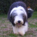 Perro Bearded Collie HOLMES