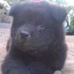 Perro Chow Chow Roky
