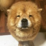 Perro Chow Chow Melocoton