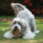 Perro Bearded Collie MrNilsson