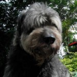Perro Bearded Collie YakoJuanitoPalermo