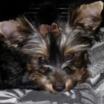 Perro Yorkshire Terrier buby