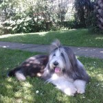 Perro Bearded Collie Oker