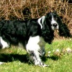Perro English Springer Spaniel April
