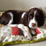 Perro English Springer Spaniel Nutella