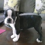 Perro Boston Terrier Summer