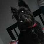 Perro Scottish Terrier camila