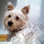 Perro Silky Terrier compadrr