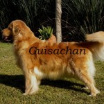 Perro Golden Retriever Bombo