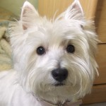 Perro West Highland White Terrier Queca