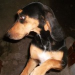 Perro Black and Tan Coonhound Lassie