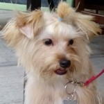 Perro Yorkshire Terrier Niky