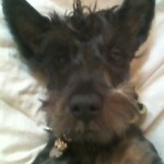 Perro Scottish Terrier Oprah