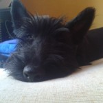 Perro Scottish Terrier Igor