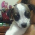 Perro Parson Russell Terrier miley