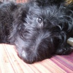 Perro Scottish Terrier Jack