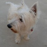 Perro West Highland White Terrier Puchy